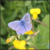 Photo of Common Blue Butterfly